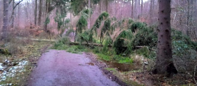 pine tree lying across road after windstorm