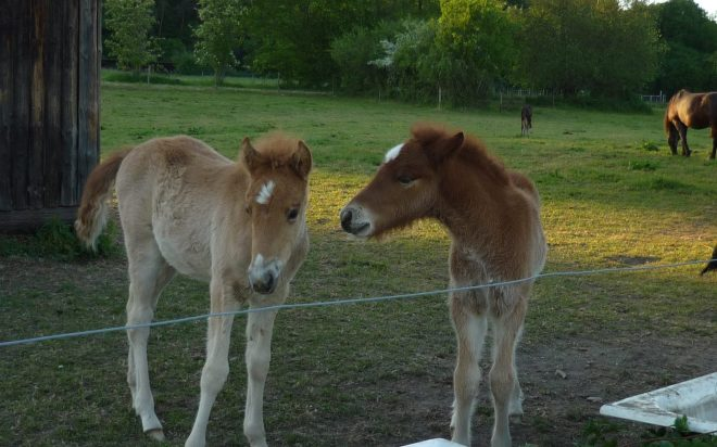 Two foals with white blazes on their foreheads, making friends in a green meadow