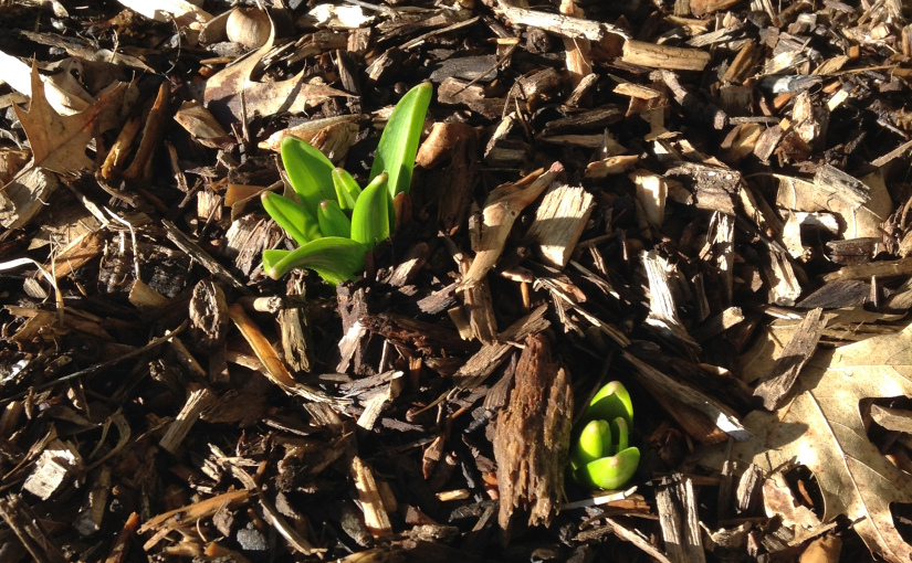 sprouting buds in mulch on spring day
