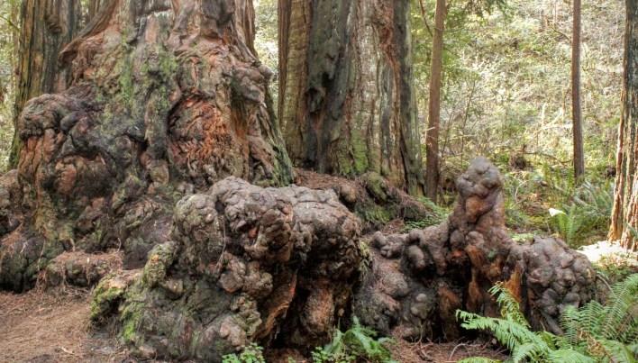 Redwood root burls