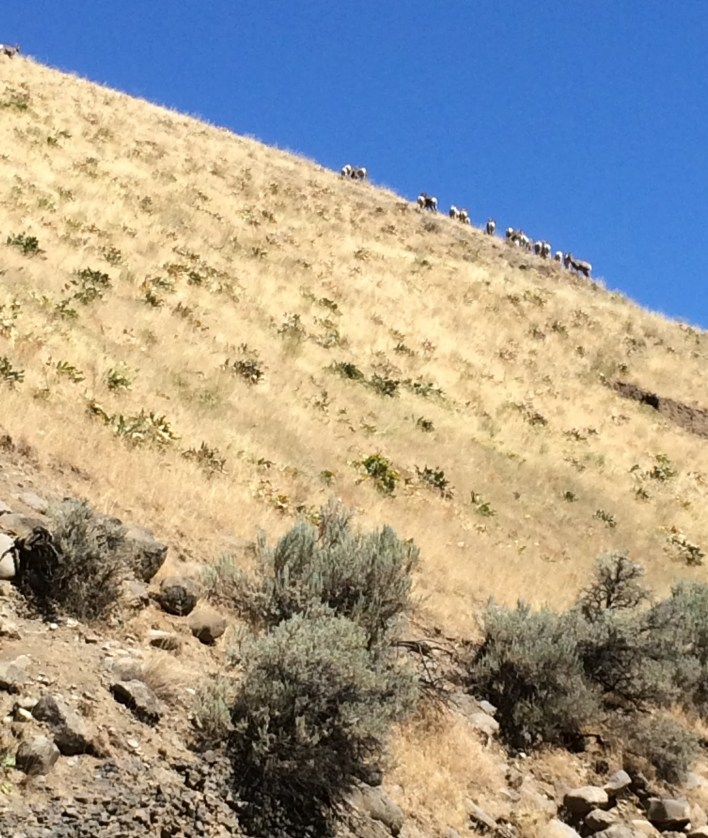 The bighorns moved in a cluster across the slope (Lauren Danner photo)