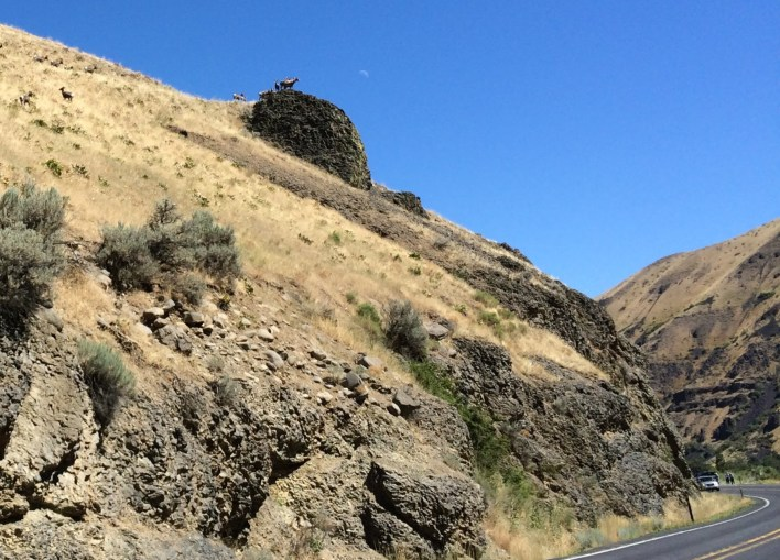 Bighorn sheep skylining on an outcropping above the highway