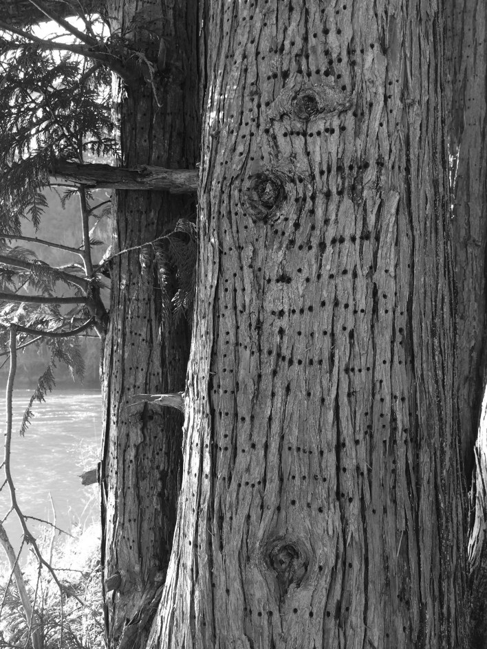 Woodpeckers drilled remarkably symmetrical lines of holes into this riverside Western redcedar.