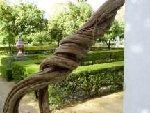 Interesting vine in Parque María Luisa
