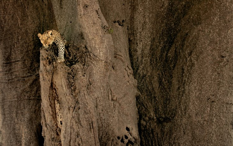 A healthy leopard crawls out of a rocky outcropping.