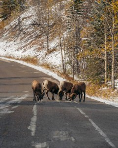 bighorn sheep on the road in Jasper National Park