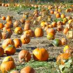 Pumpkin Field Photo – Spicer's Orchard – Hartland Michigan