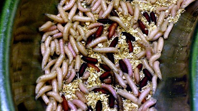 Manna, Maggots and Trust