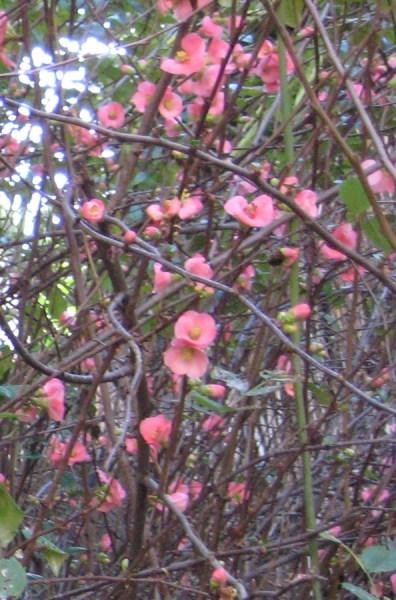 quince bushweb_0121