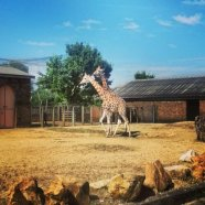 Giraffes in the sun