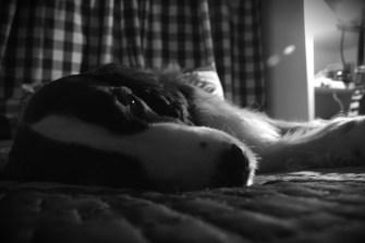 Algún día de 2010, después de una fea caída (caminaba hacia atrás y se le acabó la barda) empecé a notar que Badú envejecía. Dormía más, brincaba menos, se le sumía la cadera y tenía más altibajos de temperamento que de costumbre.