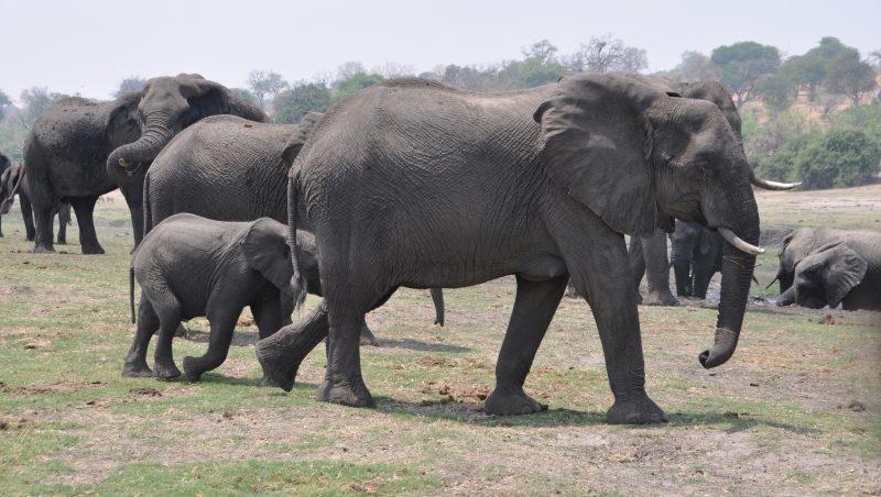 Elefanti Parco Chobe