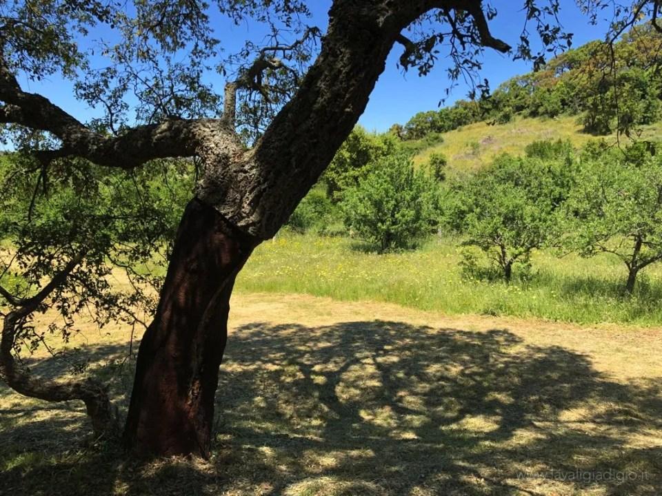 itinerario in gallura albero sughero