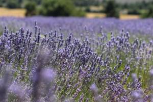 Lavendel Momente