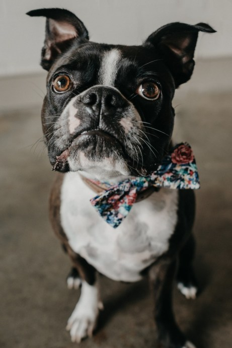 Boston terrier with bowtie
