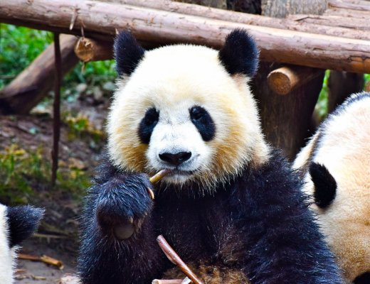 Hold Panda, Chengdu, China