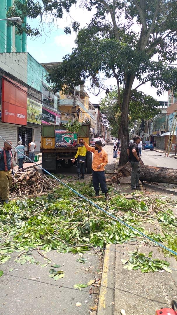desplome de arbol en la avenida miranda dejo sin electricidad e internet a parte de maturin laverdaddemonagas.com arbol5