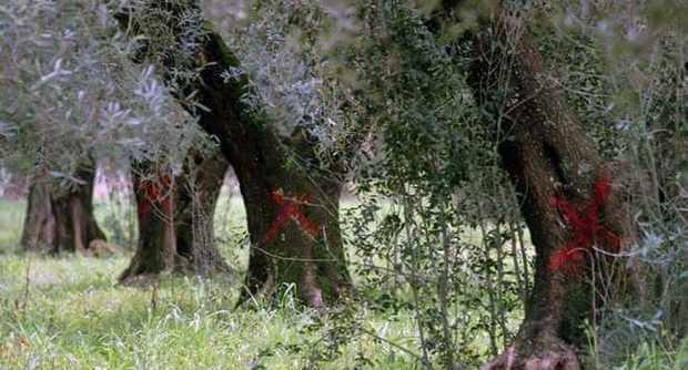 Italia deferita alla Corte di Giustizia Ue per il mancato abbattimento degli ulivi affetti da xylella