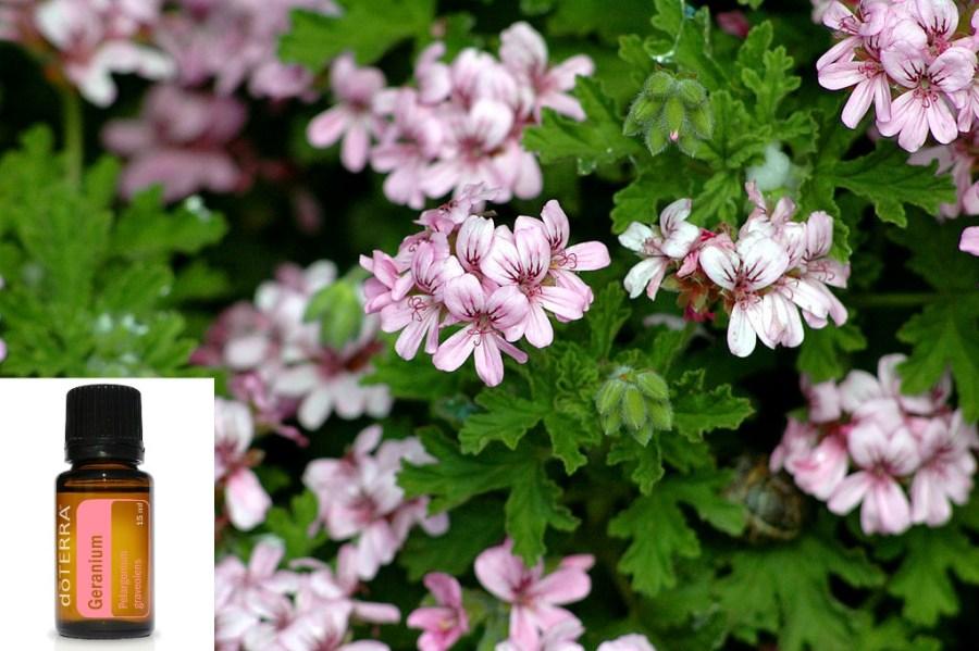 1024px-Pelargonium_graveolens piu' geranium