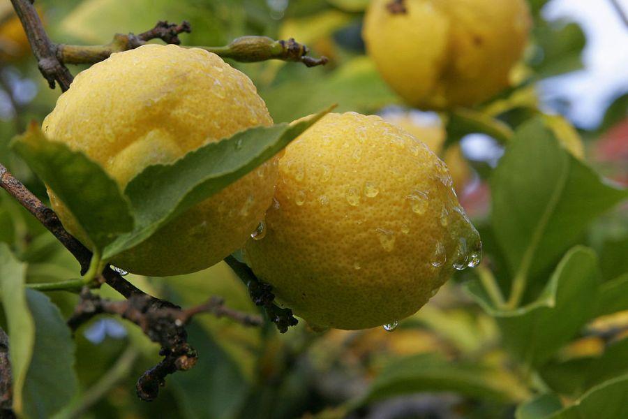 1024px-Lemon02