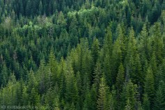 a Douglas Fir forest grows homogeneously on a mountainside