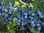 juniper-berry