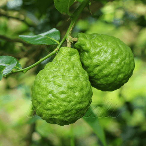 Bergamot on the tree