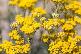 Helichrysum pianta