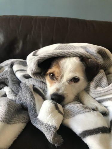 perro-con-manta