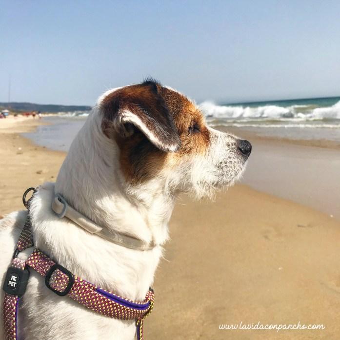 Pancho-en-playa-para-perros-cadiz