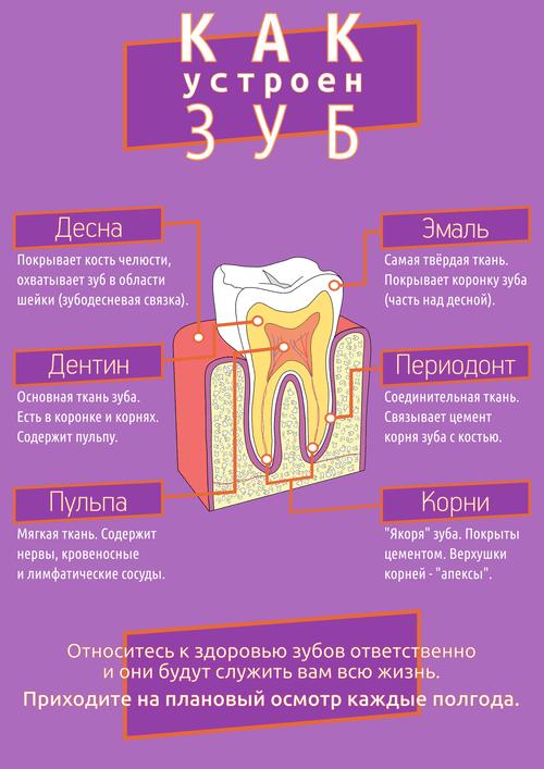 Как устроен зуб - цвет