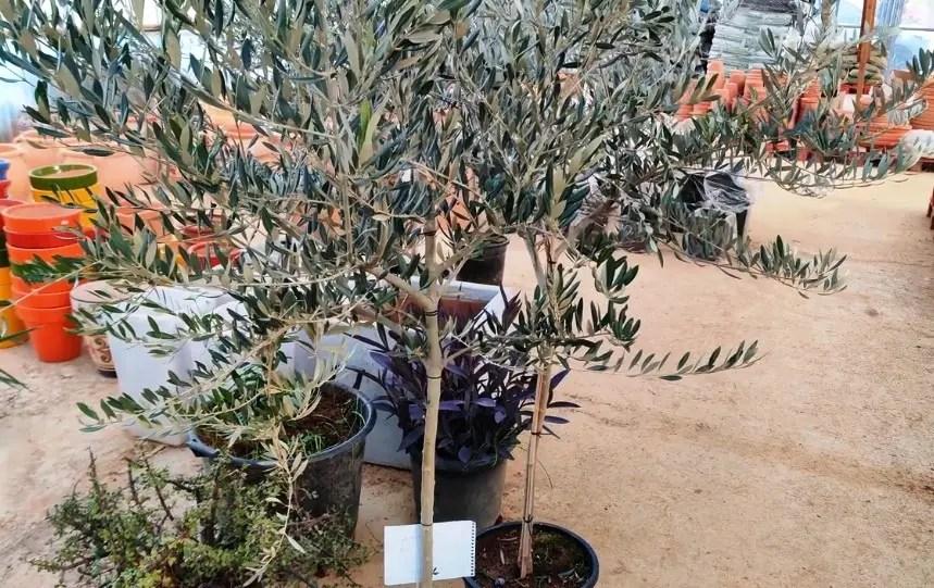 Más de 400 olivos vendidos con la campaña 'Un Olivo por Navidad'