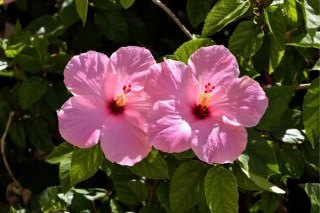 best fertilizer for hibiscus