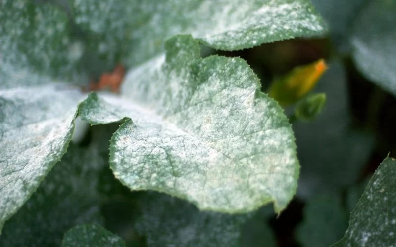 best fungicides against powdery mildew