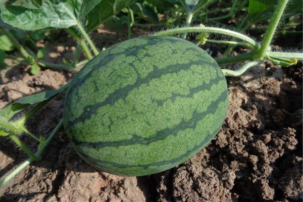 best fertilizer for watermelon