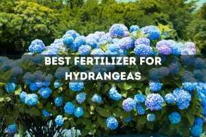 Best Fertilizer for Hydrangeas