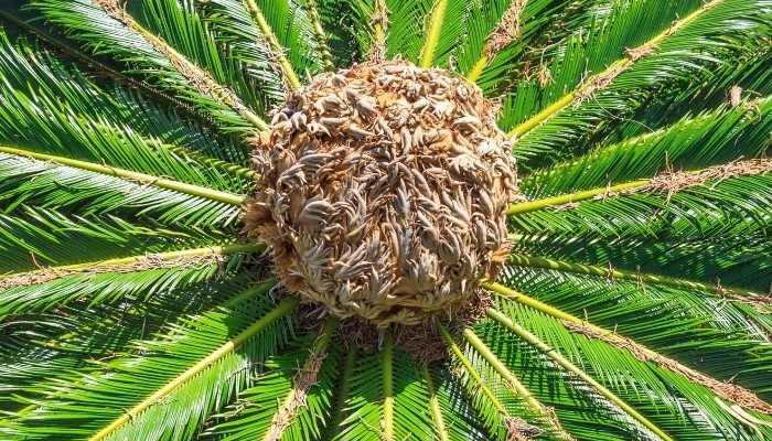 Best Fertilizer for Sago Palms