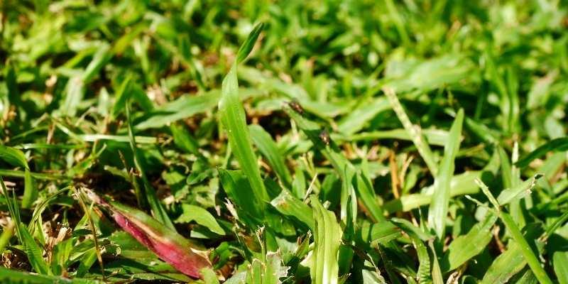 Get Rid Of Bermuda Grass In St. Augustine