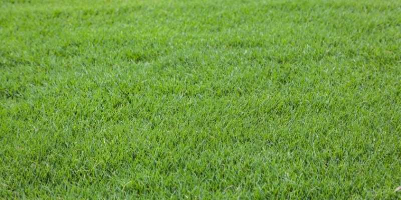 Bermuda-grass