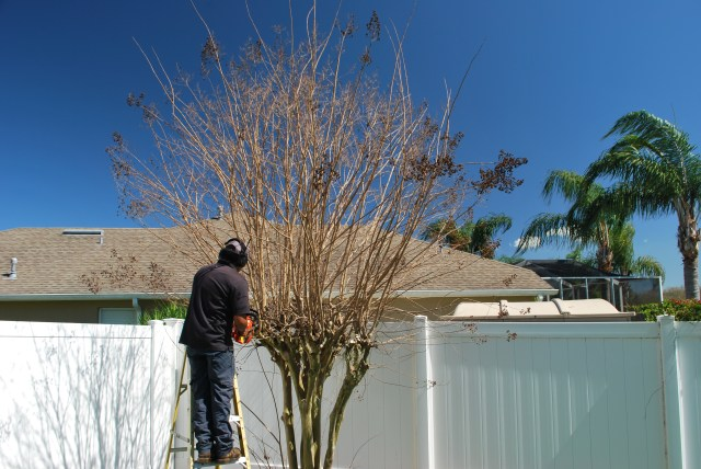 Crape Myrtle being trimmed