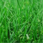 Lawn Care for Bahia Grass in Vero Beach