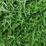 Lawn Care for Centipede Grass in Vero Beach