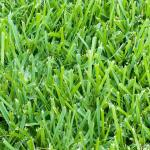 Lawn Care for St Augustine Grass in Vero Beach