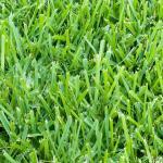 Lawn Care for St Augustine Grass in Vero Beach