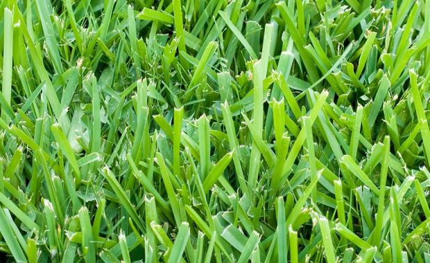 Six Florida Friendly Lawn Varieties