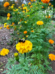 bee-on-marigold