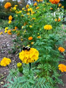 bee-on-marigold