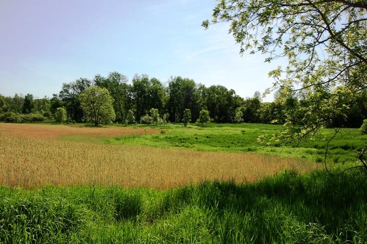 Wheat field and wetland