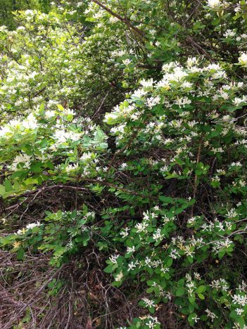 "Honeysuckle or hawthorn? A shrub very like this one was in bloom at the edge of the ""hawthorn thicket."""