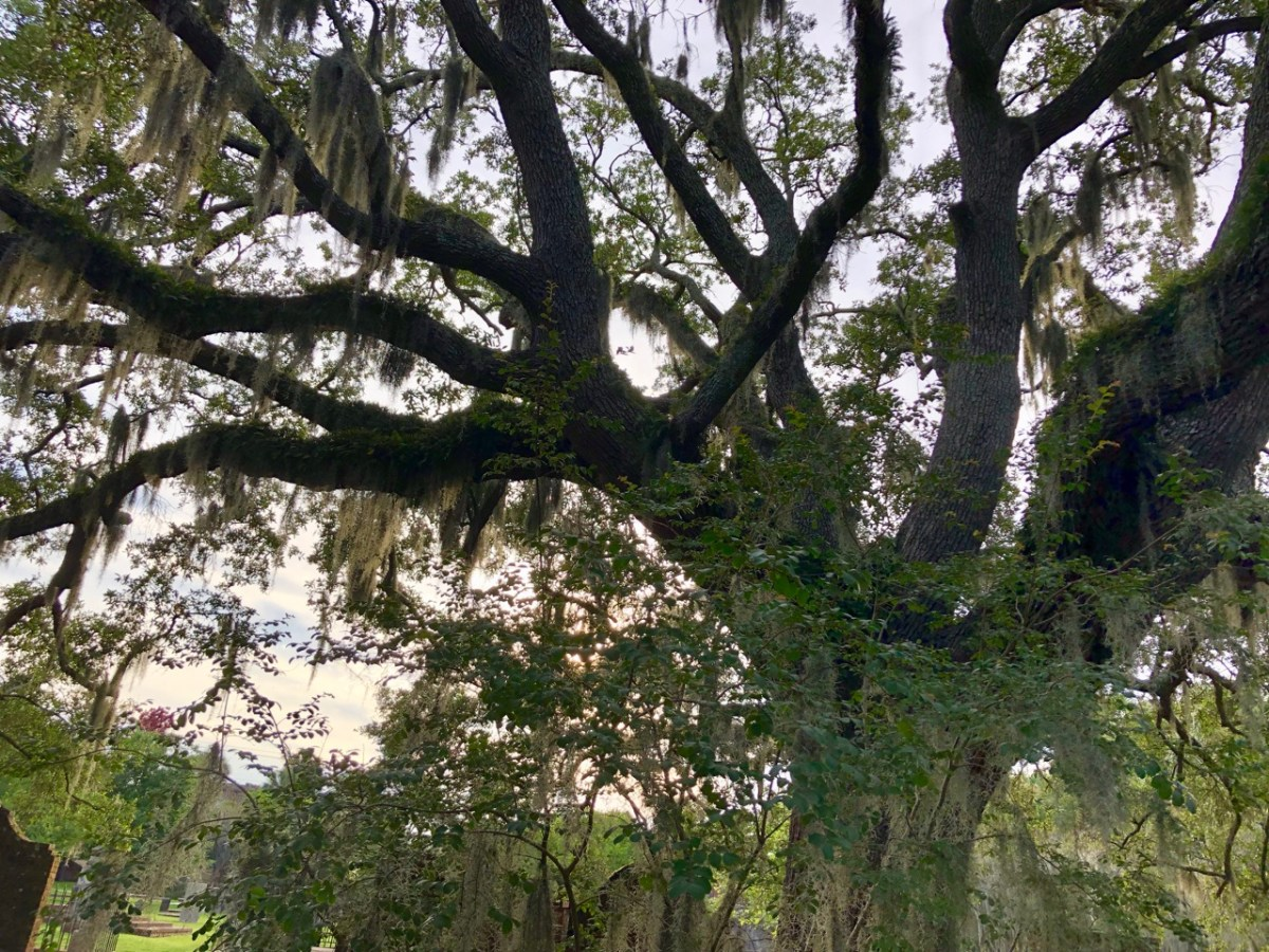 A big oak tree covered in spanish moss at sunset.